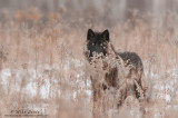Gray Wolf stares from behind grasses