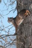 Lynx & Bobcat