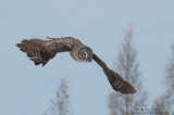 Great Gray owl accelerating