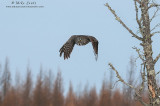 Great Gray owl of the northwoods