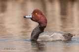 Redhead duck boldly displays