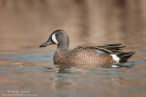 Blue- Winged Teal showing blue