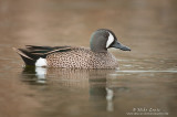 Blue-winged Teal portrait