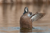 Blue winged teal wing flapping