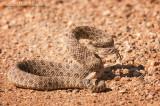Prairie Rattlesnake camo on gravel