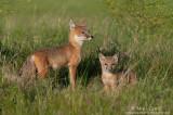 Swift Fox mom and kit