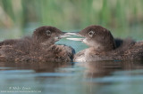 Loon babies beak to beak