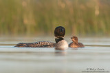 Common Loon admiration