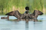 Loon wingflap above baby