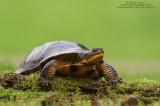 Blandings Turtle in elements