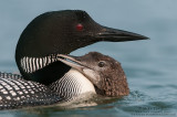 Loon and baby showing affection