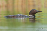 Loon concealment low in water