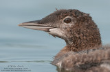 Juvenile Common Loon (head shot)