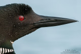 Loon super tight headshot