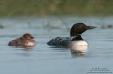 Loon and baby relaxed