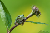 Tree frog on emerging Cone Flower
