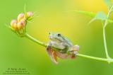 Tree frog dangling on Trumpet Vines