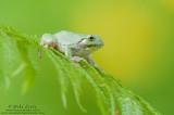 Tree frog on Fern