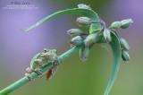 CopesTree frog