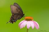 Spicebush Swallowtail on purple coneflower