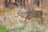 White-tailed Deer in field grasses