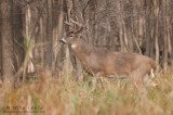 White-tailed Deer enters the woods