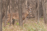 White-tailed deer leaves the forest