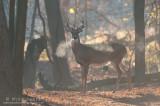 Whitetailed deer steamy backlit scene