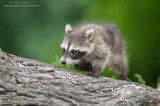 Racoons, Porcupine & Fisher