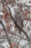 Sub arctic Great Horned Owl in Oak tree