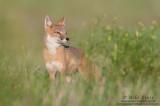 Swift Fox (female) peers across the prairie