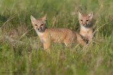 Swift Fox pups at sunrise