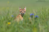Swift Fox female in flowers