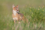 Swift Fox female in prairie