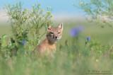 Swift Fox in scenic scene