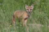 Swift Fox kit out from the den