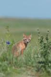 Swift Fox mother near den