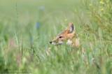 Swift Fox Head poke in grasses