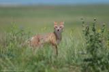 Swift Fox in a big prairie