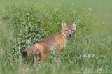 Swift Fox in thicket