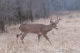 White-tailed Deer strolls in grasses