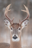 White-tailed deer straight
