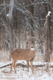 White-tailed deer by snag
