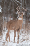 White-tailed deer (9 pointer)
