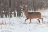 White-tailed deer walks in snowfall