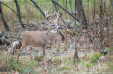 White-tailed deer trophy strut