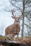 White-tailed deer ridge brute