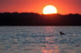 Loon sunrise blossom