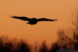Great Gray Owl after sunset