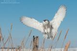 snowy_owls